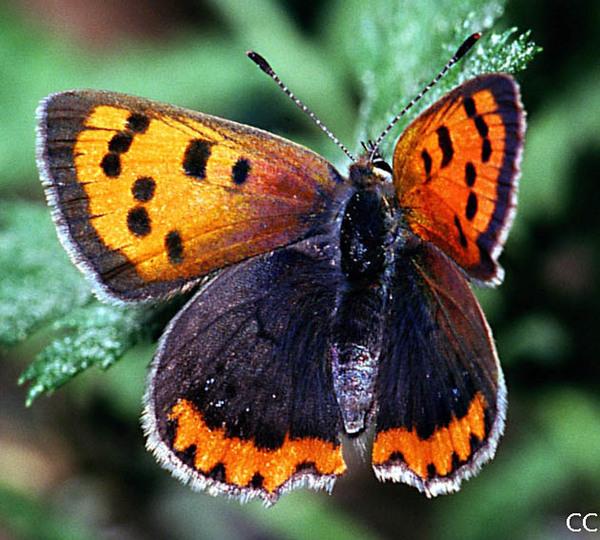 Lycaena phlaeas american copper