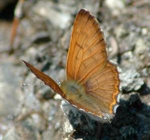 Lycaena mariposa cc