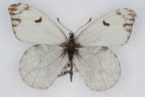 Anthocharis lanceolata