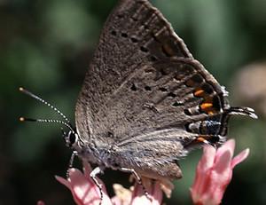 Satyrium californica