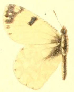 Euchloe hyantis