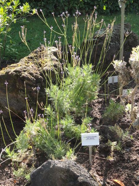 Lavandula buchii   botanischer garten  frankfurt am main   dsc02382 pd