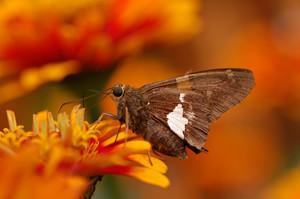 Epargyreus clarus zinnia