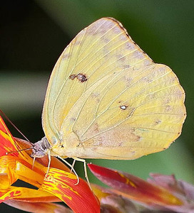 Phoebis sennae 6