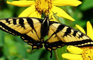 Papilio rutulus 2