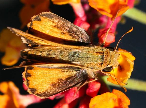 Hylephila phyleus 3