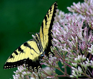 Papilio rutulus w eupatorium fistulosum
