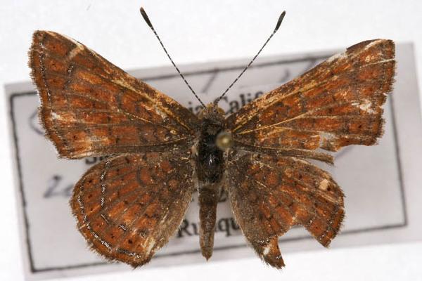 Calephelis wrighti