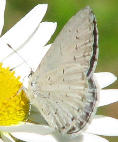 Celastrina neglecta summer azure ottawa cc
