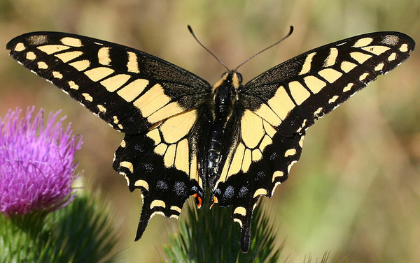 Papilio zelicaon 3