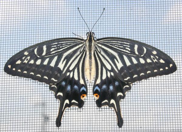 Papilio xuthus 4