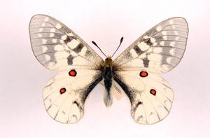 Parnassius clodius ulster cc