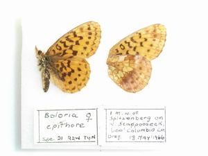 Boloria epithore female cc