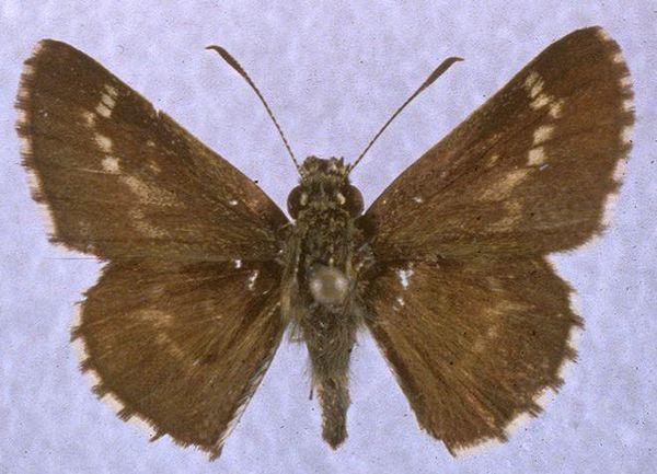 Amblyscirtes aesculapius doyman lake  mississippi  charles t. and john r. bryson cc