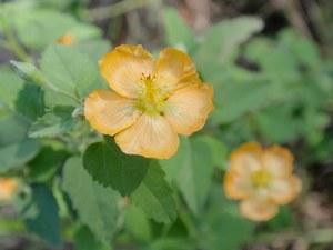 Abutilon fruticosum cc