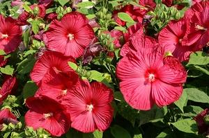 Hibiscus moscheutos rouge cc