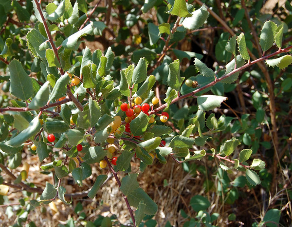 Rhamnus crocea az mike in arizona cc