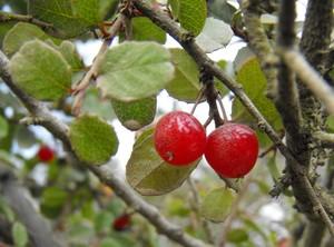 Rhamnus crocea pd