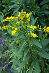Solidago sempervirens l. %28asteraceae%29  flor de cubres pd