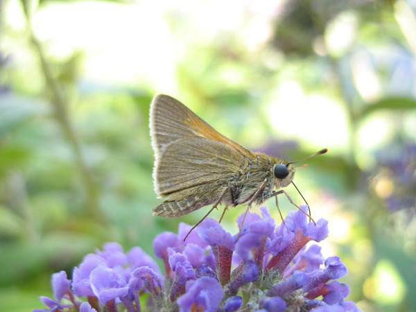 Polites themistocles nectaring on buddleja poss pd