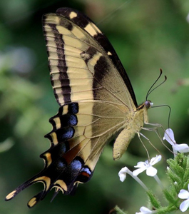 Papilio andraemon with familiar blossom by charles james sharp cc