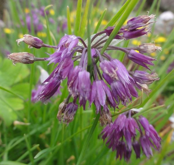 Allium cyathophorum farreri 2 cc