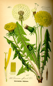 Illustration taraxacum officinale0