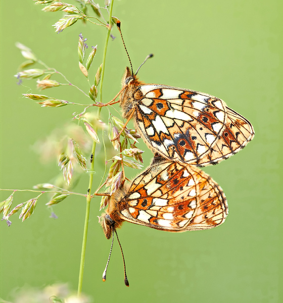 Butterfly boloria selene %28linnaeus  1758%29 cc by aleksey gnilenkov
