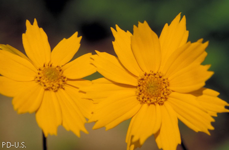 Coreopsis auriculata