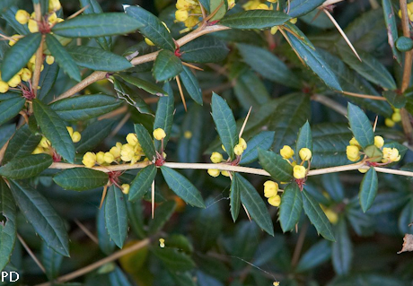 Berberis julianae 3