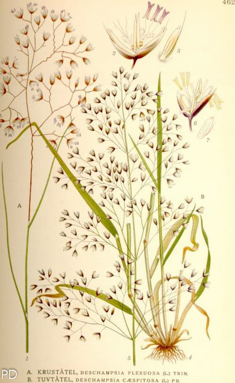 Deschampsia flexuosa 4