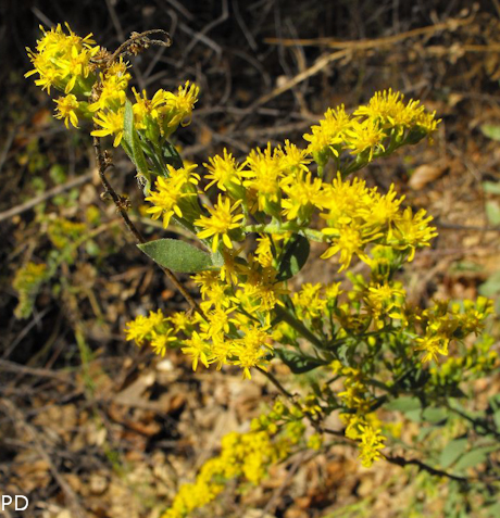 Solidago californica 2