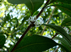 Osmanthus decorus 2