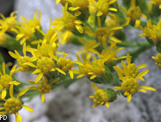Solidago californica