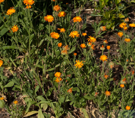 Calendula officinalis, best guess 2