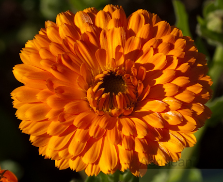 Calendula officinalis, best guess 5