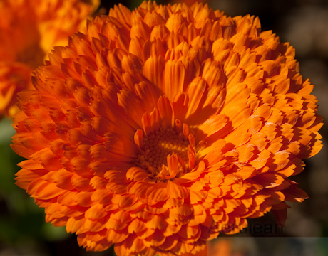 Calendula officinalis, best guess