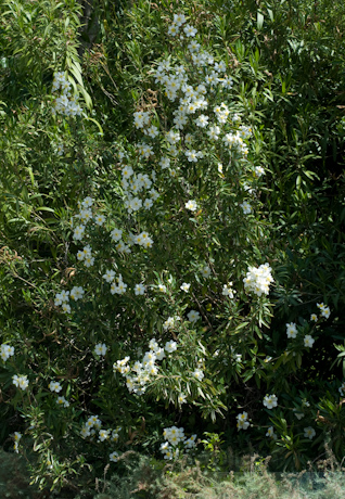 Carpenteria californica 10