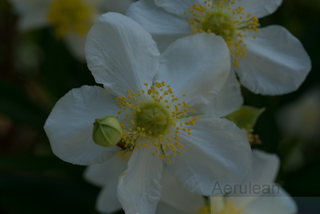 Carpenteria californica 2