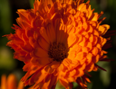 Calendula officinalis, best guess 4