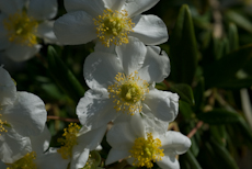 Carpenteria californica 1