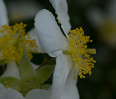 Carpenteria californica 7