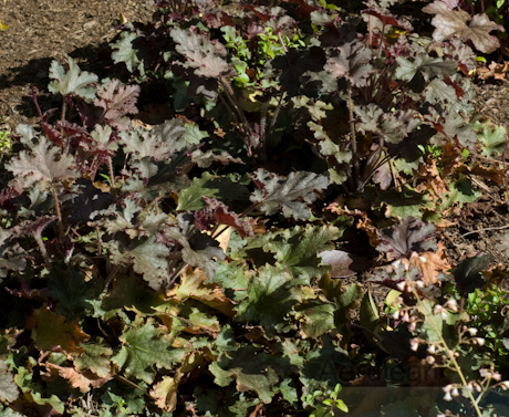 Heuchera velvet night 2
