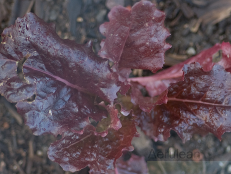 Lactuca sativa ruby 1