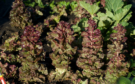 Lactuca sativa ruby 2