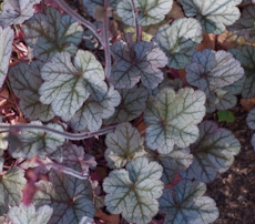 Heuchera velvet night 3