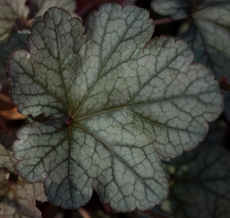 Heuchera velvet night 7