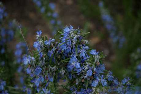 Rosmarinus officinalis 'prostratus group'  1