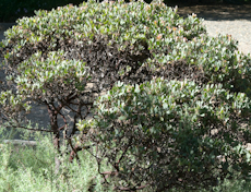 Arctostaphylos canescens ssp. sonorensis  3