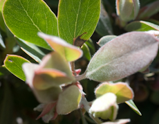 Arctostaphylos canescens ssp. sonorensis  4